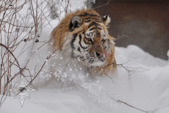 Бросок тигра