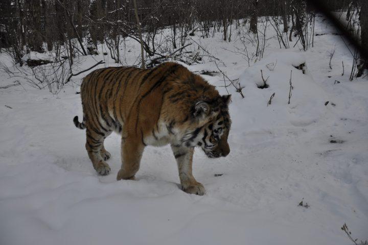 Тигриными тропами Сихотэ-Алиня