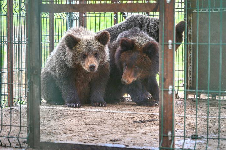 Выпуск медвежат