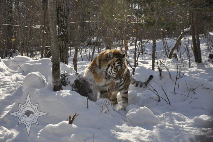 Фото Амурского тигра