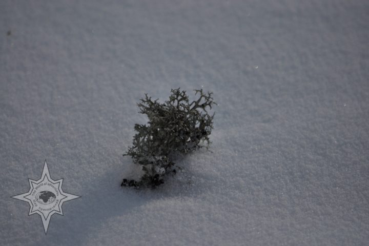 Лишайник на снегу